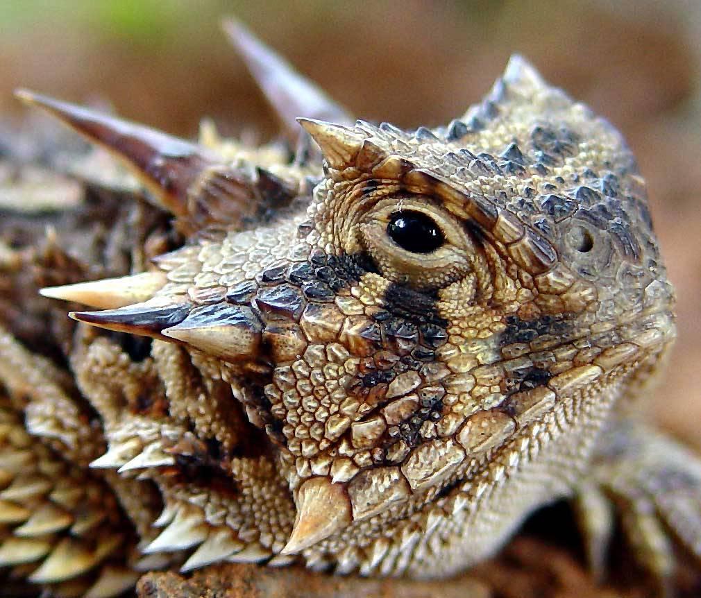 Horned lizard is horned (keratin over bone) [Phrynosoma species]