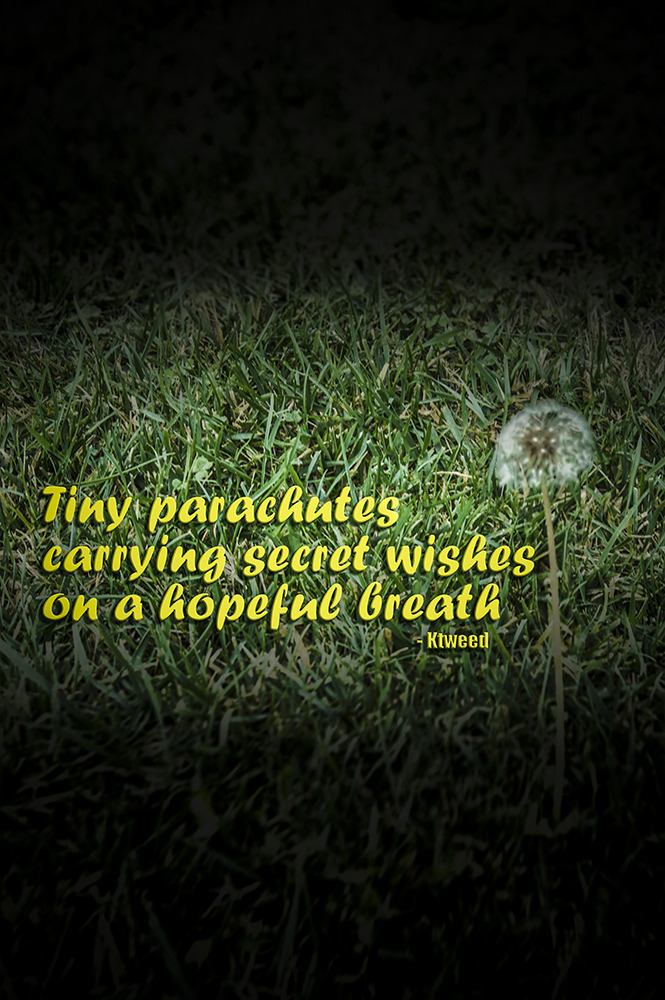 Haiku dandelion photoshop