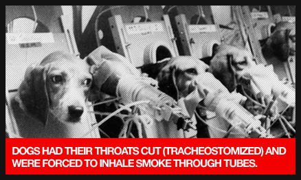 Standard animal testing for almost all cigarette companies.