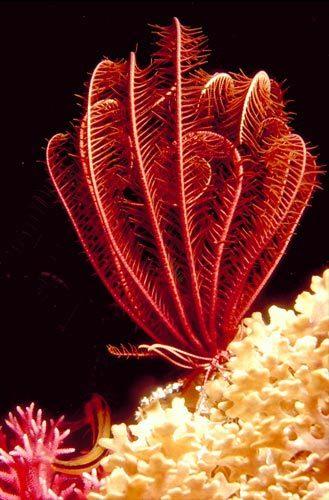 Thebioguru Echinodermata Spiny Skinned Crinoidea