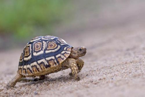 Cinco pouco: tartaruga Leopard - Big 5 e Little Tanzânia em África 5 safari dos animais selvagens galeria de fotos
