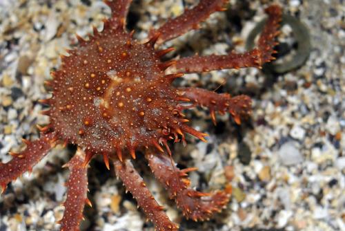 animals-animals-animals:</p> <p>King Crab (Lithodes sp.) (by Joachim S. Müller)