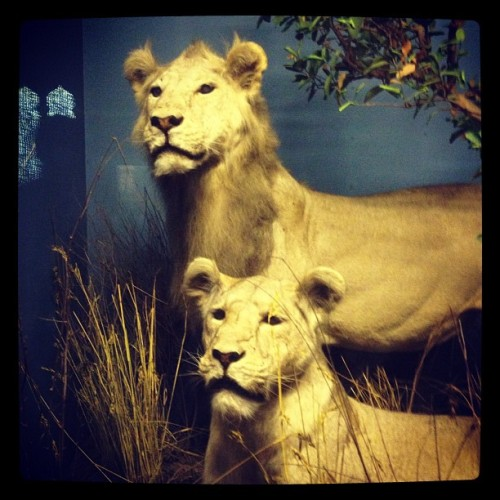 Lions! (Taken with Instagram at American Museum of Natural History)