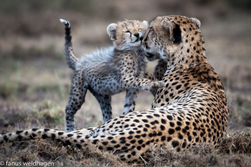 animals-animals-animals: Cheetah and Cub, Bonding (by Fanus Weldhagen)