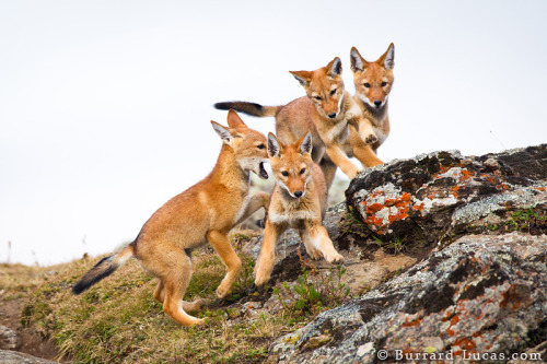 animals-animals-animals: Ethiopian Wolf Pups (by Will Burrard-Lucas)
