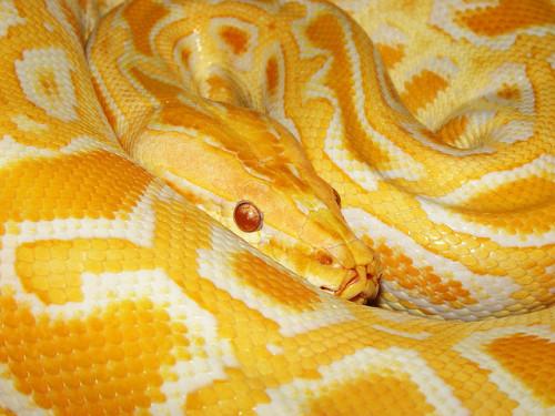 animals-animals-animals: Burmese Python (by Tambako the Jaguar)
