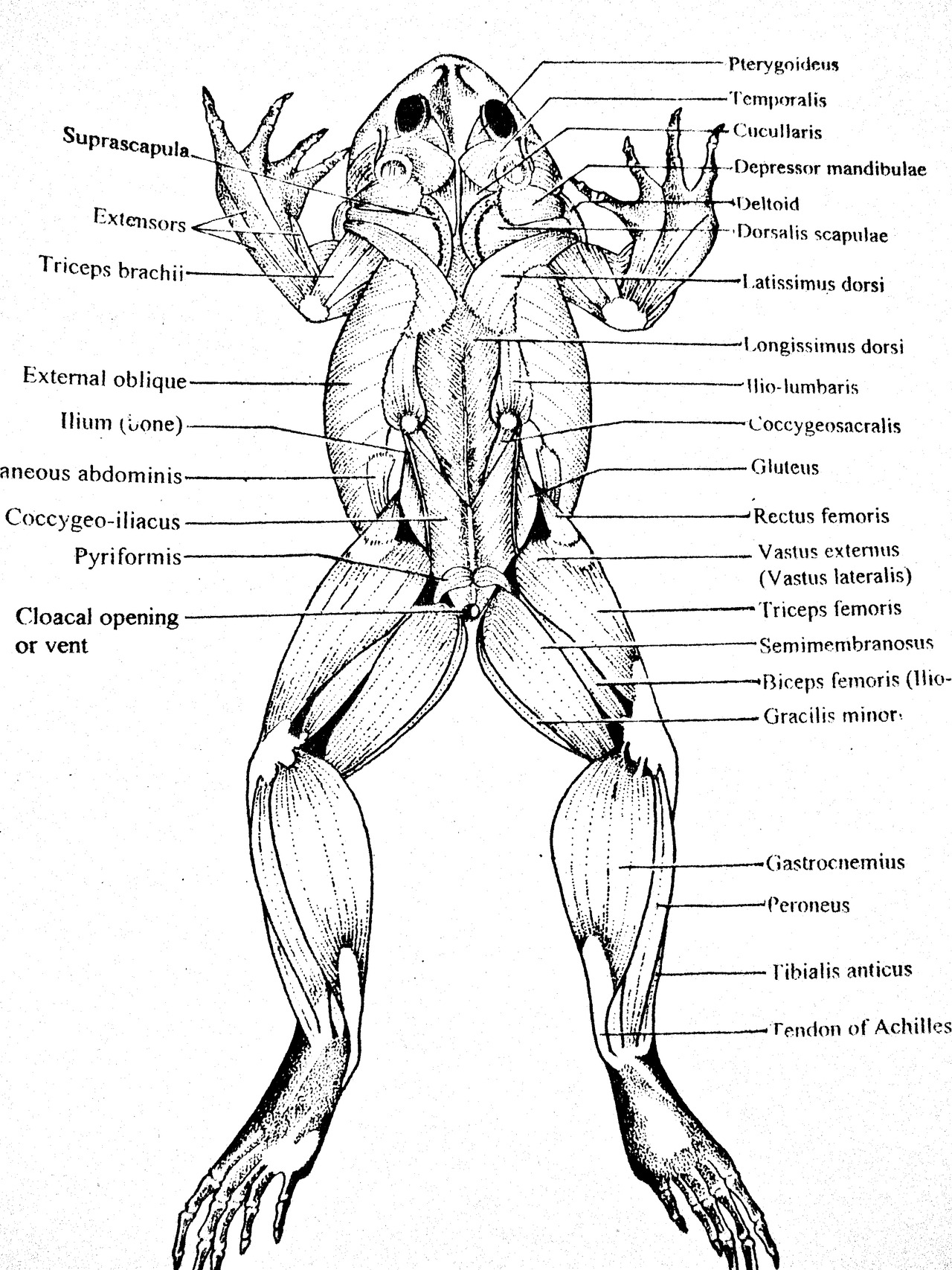 Frog Muscular System Dorsal View