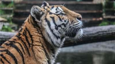 Jubileumdag KansPlus 2017 - Wat een prachtige tijger