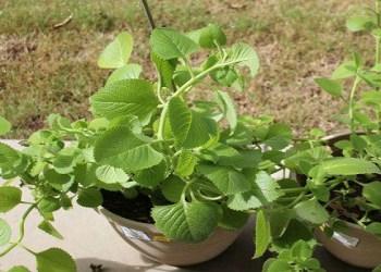 celery leaves health benefits