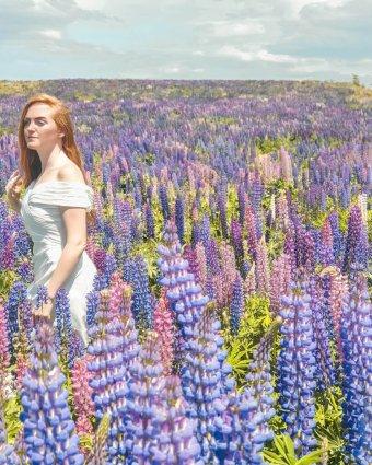 lupin field New Zealand