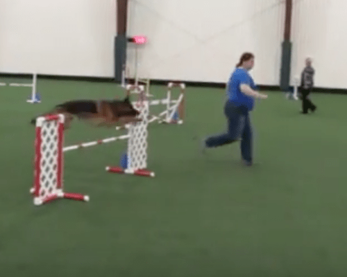 Ziva at the Dog Obedience Training Club of Rochester Agility Trial May 2018