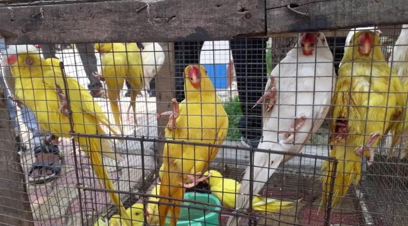 বিরল প্রজাতির পাখি পাচার করতে গিয়ে ধরা পড়ল বাংলাদেশ সীমান্তে