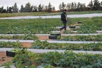 Nicht nur Getreide wächst in der Wüste, auch der Anbau von Zucchini ist möglich.