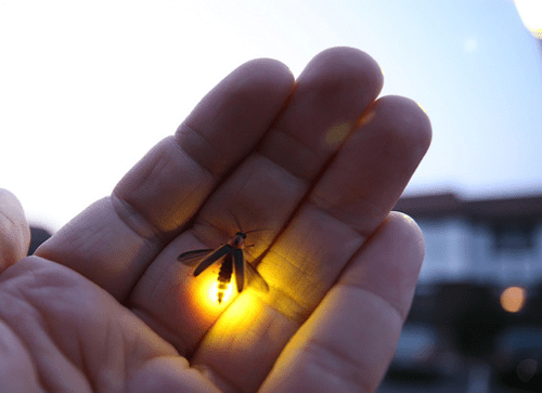 simply-beautiful-world:</p> <p>❥‿↗⁀simply-beautiful-world</p> <p>THE MIRACLE OF NATURE<br /> THE TINY FIREFLY CREATES LIGHT<br /> WITHOUT DESTROYING ANYTHING<br /> OR BRINGING HARM TO ANYONE.<br /> WHY CAN'T WE DO THAT?
