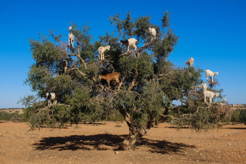 milkstudios:</p> <p>Goat Tree<br /> AMAZING!<br /> THIS IS THE FIRST TIME THAT I HAVE NOTHING TO SAY.<br />