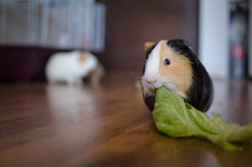 animals-animals-animals: Guinea Pig (byMatías Bravo)