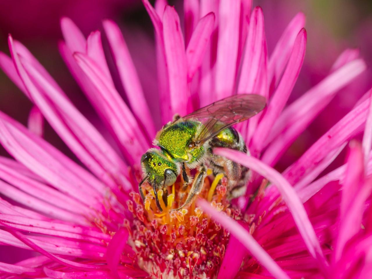 Verde metálico abelha no Jardim Botânico de Nova Iorque
