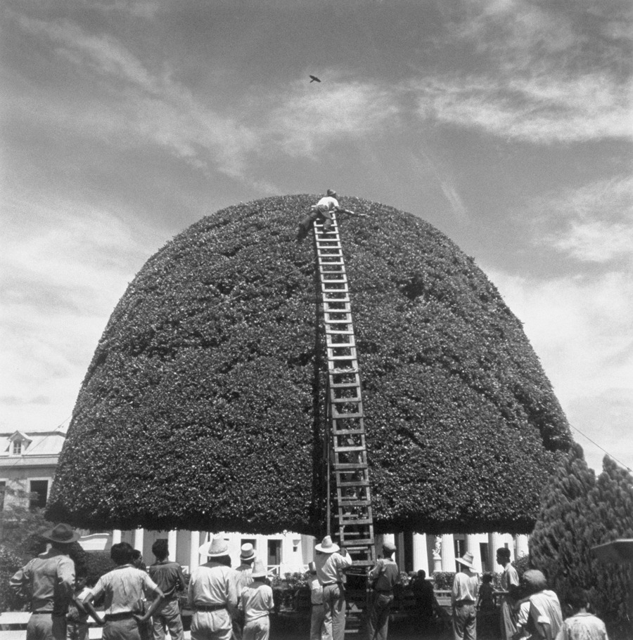 A species of fig receives a bi-montly pruning in Managua, Nicaragua, August 1944.Photograph by Luis Marden, National Geographic