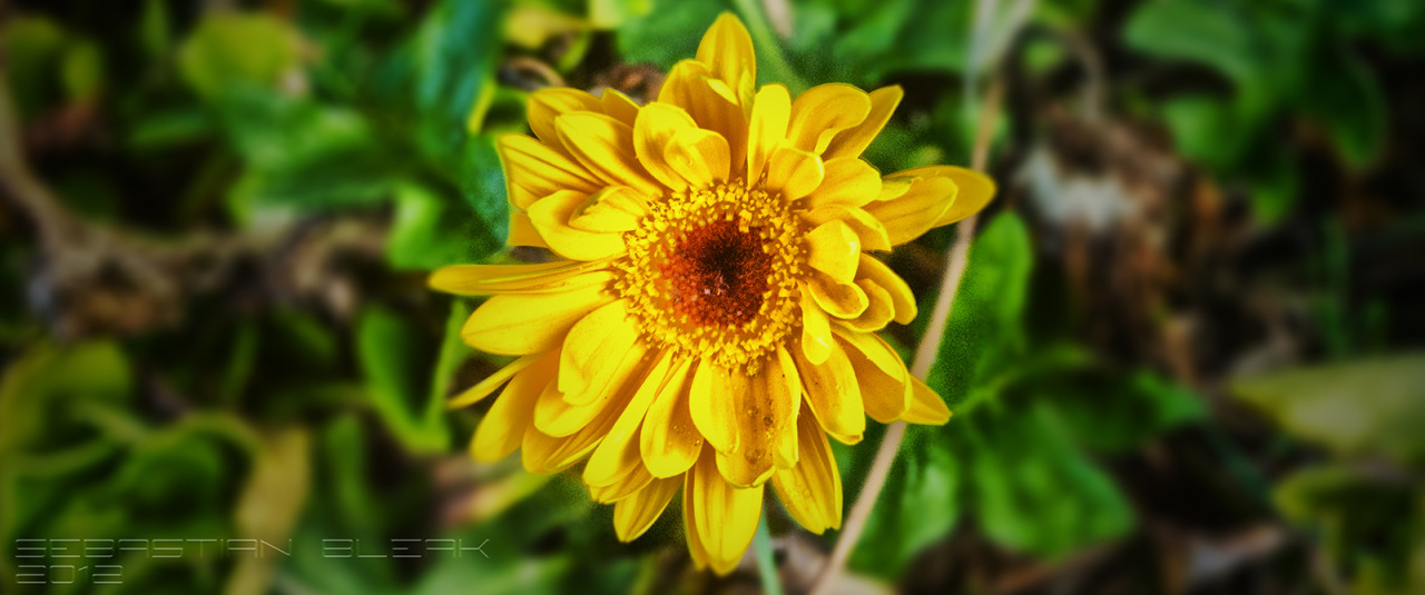 Yellow Flower- HDR