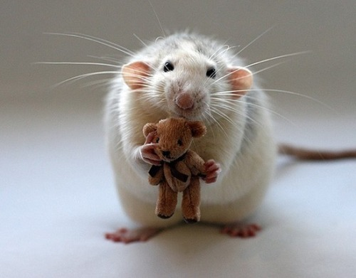 rat and teddy