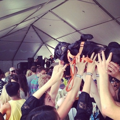 pug crowd surfing