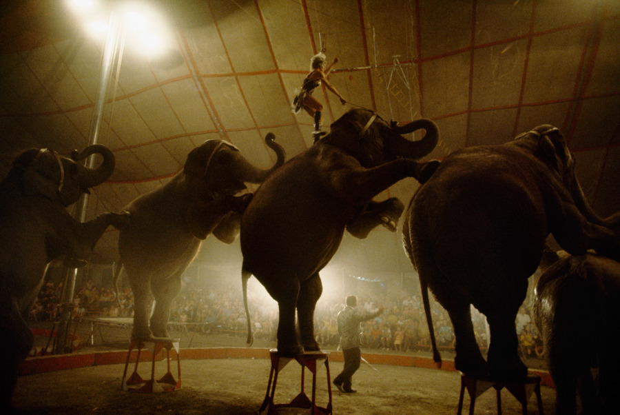 Elephants performing the long mount signal the end of the show, March 1972.Photograph by Jonathan Blair, National Geographic