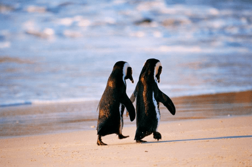 ecstaticstarlight:   megannmariee:  Even penguins know that holding hands is the best :)   (via meganninthesky)