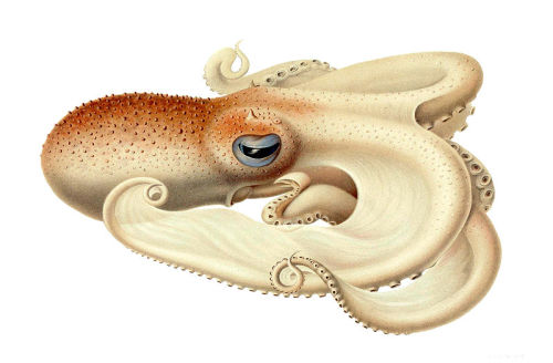 Angel Octopus (Velodona togata)