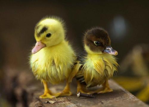 llbwwb:  Quack by Jchip8