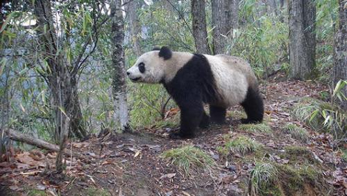 Spotted: Giant panda in the wildA rare sighting of a giant panda leaves the Nature Conservancy's deputy director in China breathless.