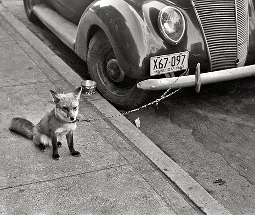 librar-y:</p> <p>October 1940. Moorhead, Minnesota. Fox chained to automobile.<br />