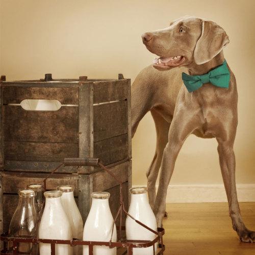 Såhär inför helgen vill väl alla känna sig lite extra fina! Nu kan du piffa upp garderoben för ditt husdjur med flugor från kanadensiska Loyal luxe.