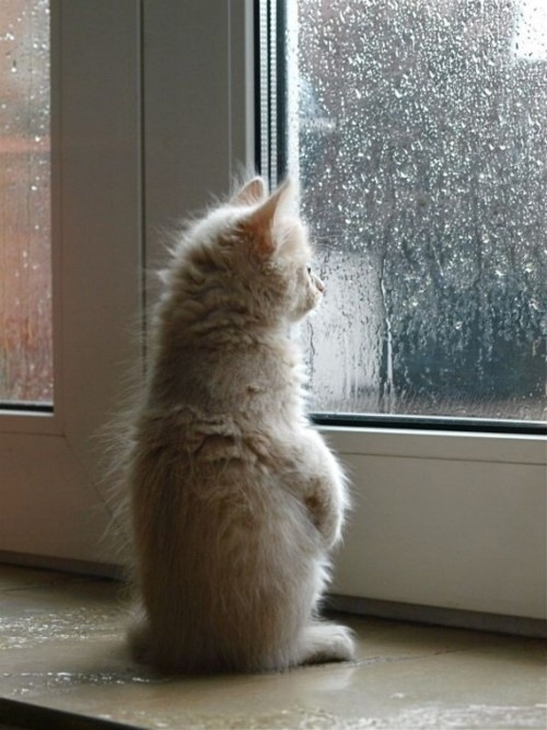 [image: a small kitten standing upright on a windowsill, looking out a rain-soaked window]i dont know why but this image made me really sad despite its cuteness.