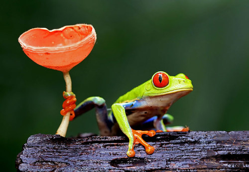 A vermelho-eyed tree frog Fotografia: Megan Lorenz / Rex Features / Rex Features