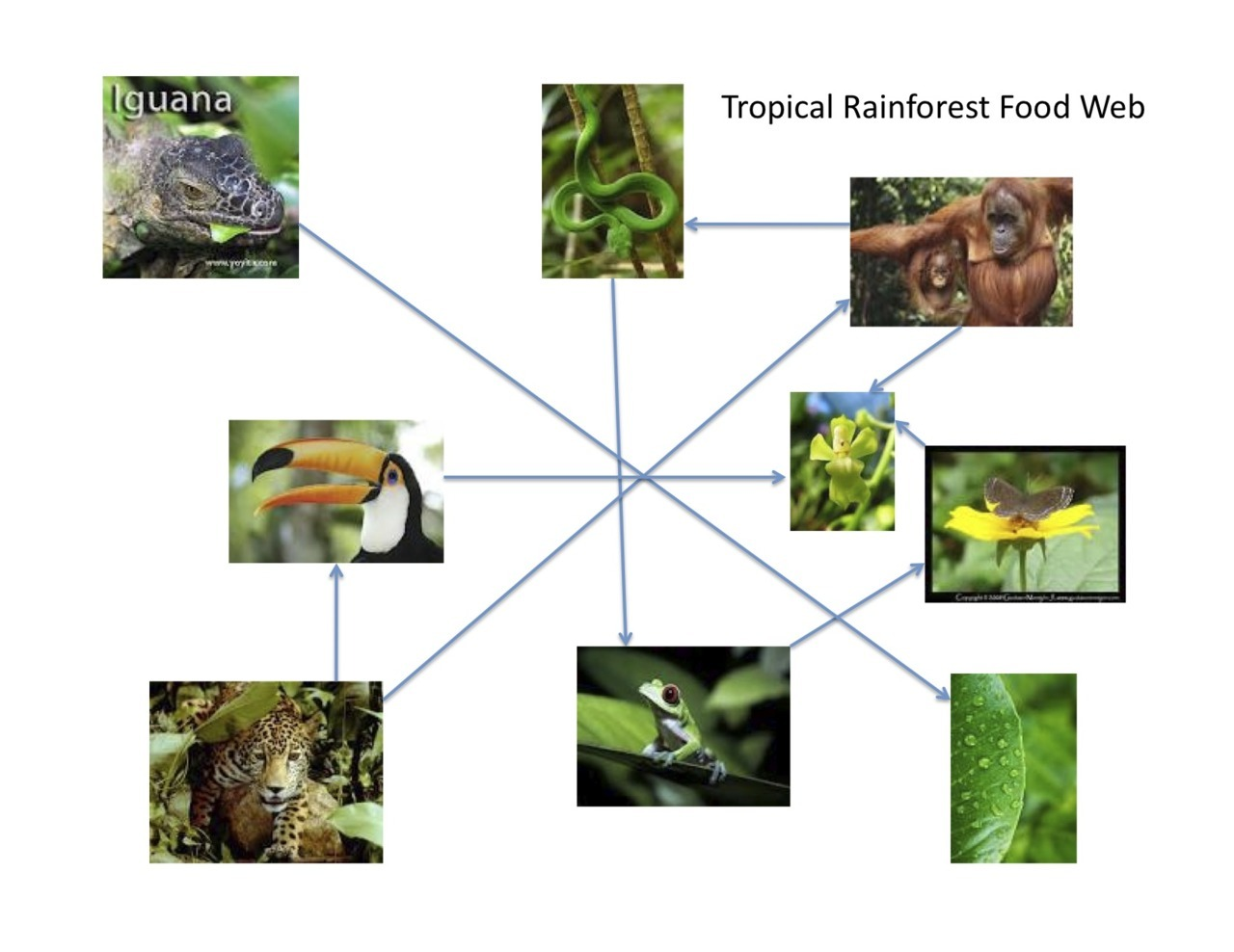 Tropical Rainforest Food Web For Tropical Rainforest