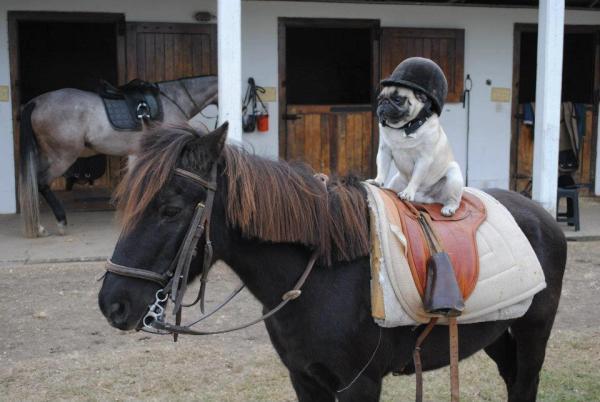 Dog riding a horse! Dog riding a horse!