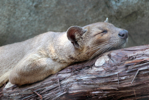 animals-animals-animals: Fossa (by A. Jaszlics)