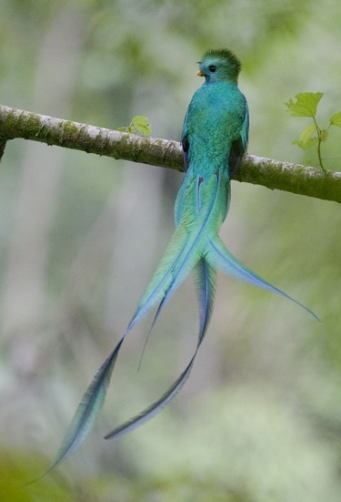 <br /> resplendent quetzal, photo by cloud forest conservation<br />