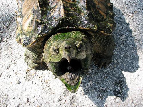 animals-animals-animals: Alligator Snapping Turtle (by Victor L Antunez)