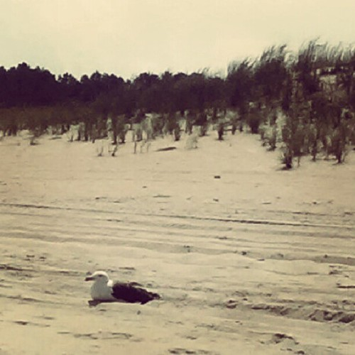 This seagull is bigger than my dog!  (Taken with Instagram)
