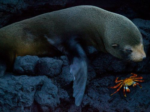 nationalgeographicmagazine: Seal and Crab, Galápagos Photograph by Benjamin Jakabek, My ShotThis was taken on Santiago Island in the Galápagos Islands. The photo is of a Galápagos fur seal and a Sally Lightfoot crab resting side by side. Download Wallpaper (1600 x 1200 pixels)