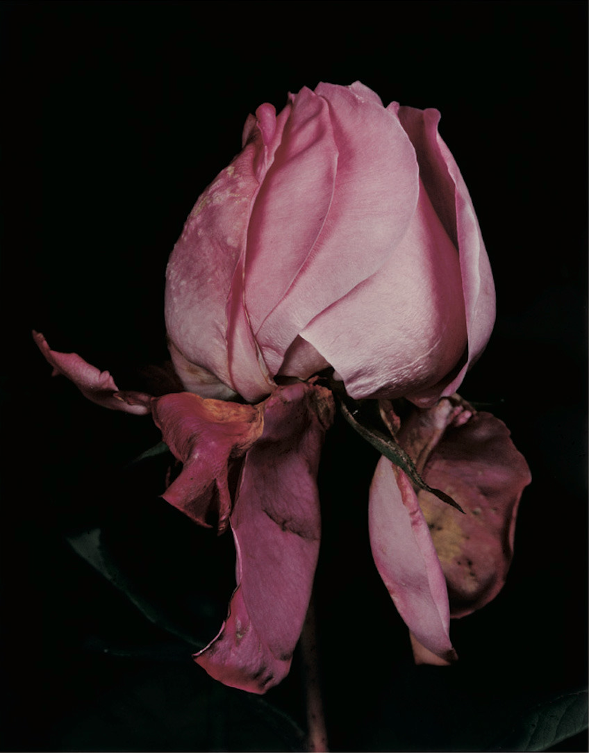 farewell-kingdom:</p> <p>David Sims- Roses</p> <p>NOTHING LASTS FOREVER.