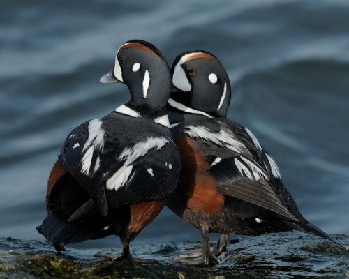 animals-animals-animals: Harlequin Ducks (by Mark Schwall)