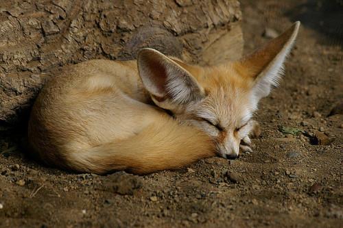 animals-animals-animals: Fennec Fox (by suneko)