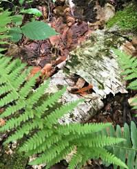 Red Eft - Vermont Forest