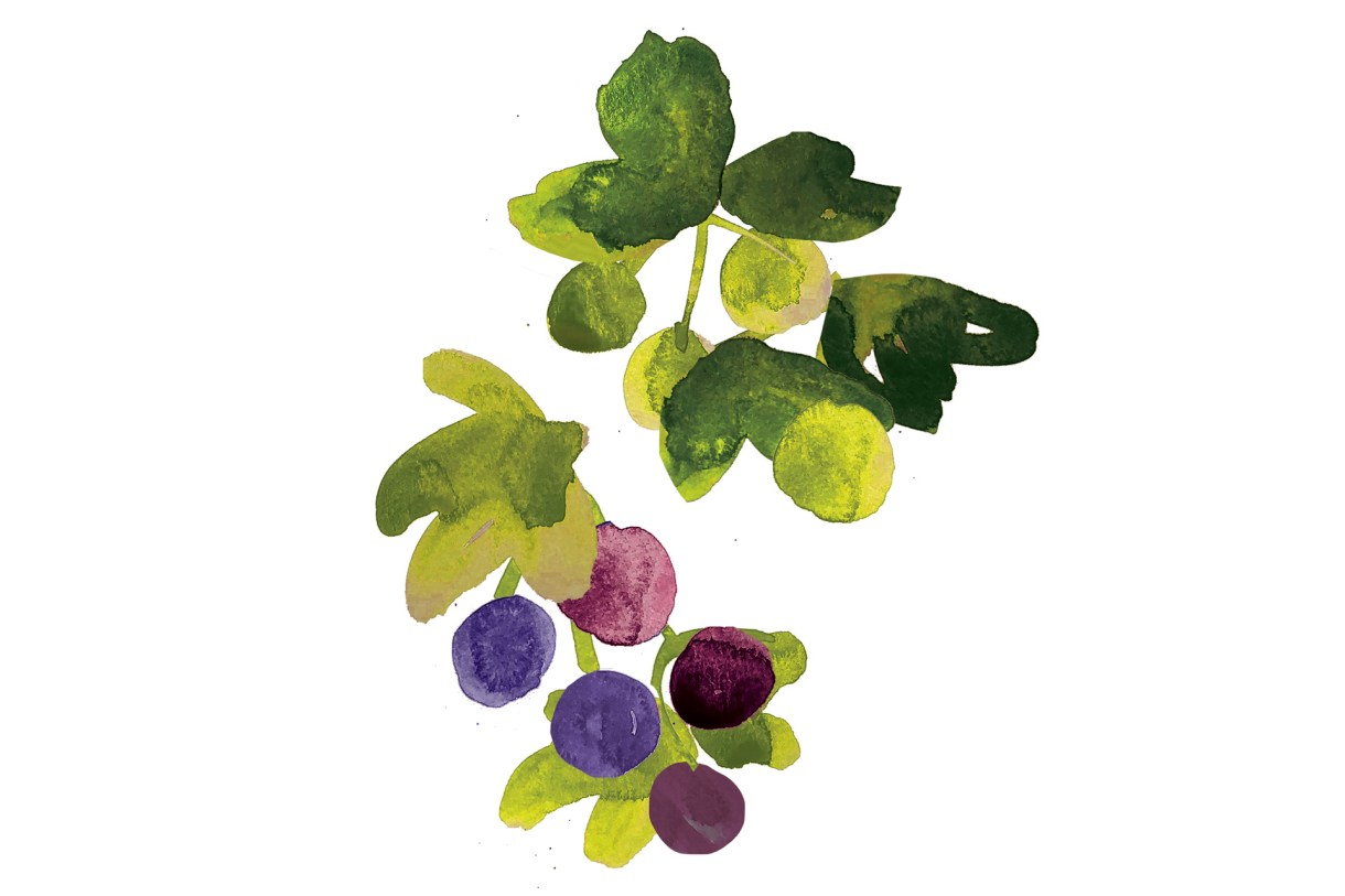 Illustration of gooseberries and black currants