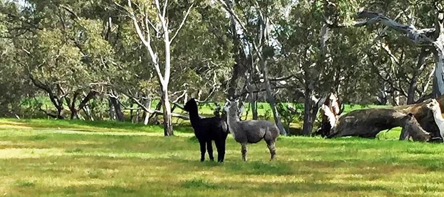the llamas