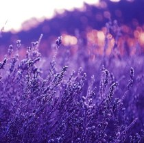 """""""Picture of Purple Flowers"""""""