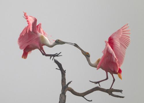 ¡Feliz Día de San Valentín!  En honor a este día tan especial, pensamos que sería buena idea compartir esta gran foto de dos Espátula Rosada está haciendo su baile de cortejo en el Refugio Nacional de Vida Silvestre Loxahatchee en Boynton Beach, Florida.  Foto: Michael Rosenbaum