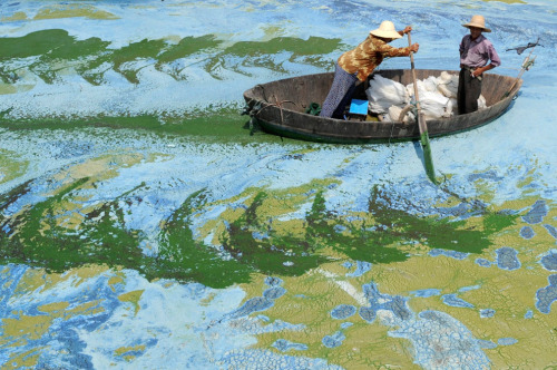 Fishermen row a boat in the algae-filled Chaohu Lake in Hefei, Anhui province, China on June 19, 2009. China invested 51 billion yuan ($7.4 billion) towards the construction of 2,712 projects for the treatment of eight rivers and lakes in 2009, Xinhua News Agency reported. (REUTERS/Jianan Yu) (via 2009 in photos (part 1 of 3) - The Big Picture - Boston.com)